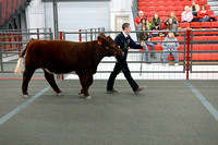 Steer Showmanship