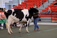 Dairy Showmanship Adult