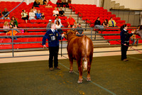 Beef Breed Intermediate Showmanship