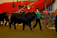 Beef Breed Shows